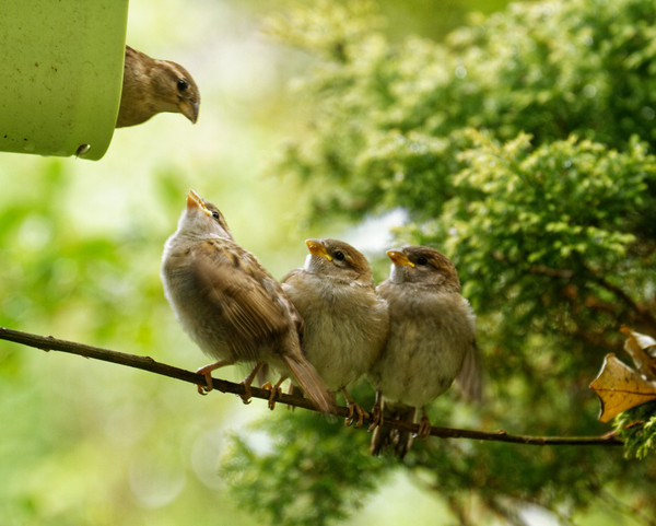 North Devon Focus. Sparrow Fledglings - Photo copyright Pat Adams (All Rights Reserved)