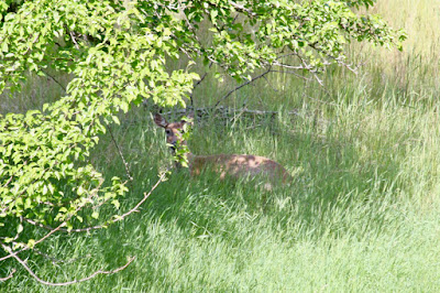 backyard whitetail doe: peaceful Sunday morning