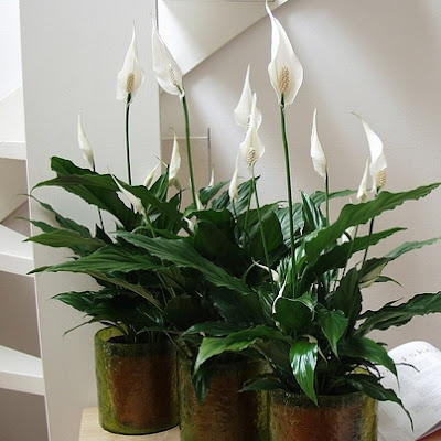 http://www.zielonyogrodek.pl/images/media2/20384skrzydlokwiat2.jpg