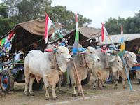 Tingkatkanb Kualitas dan Kuantitas  Sapi, Lewat Festival Gerobak Sapi