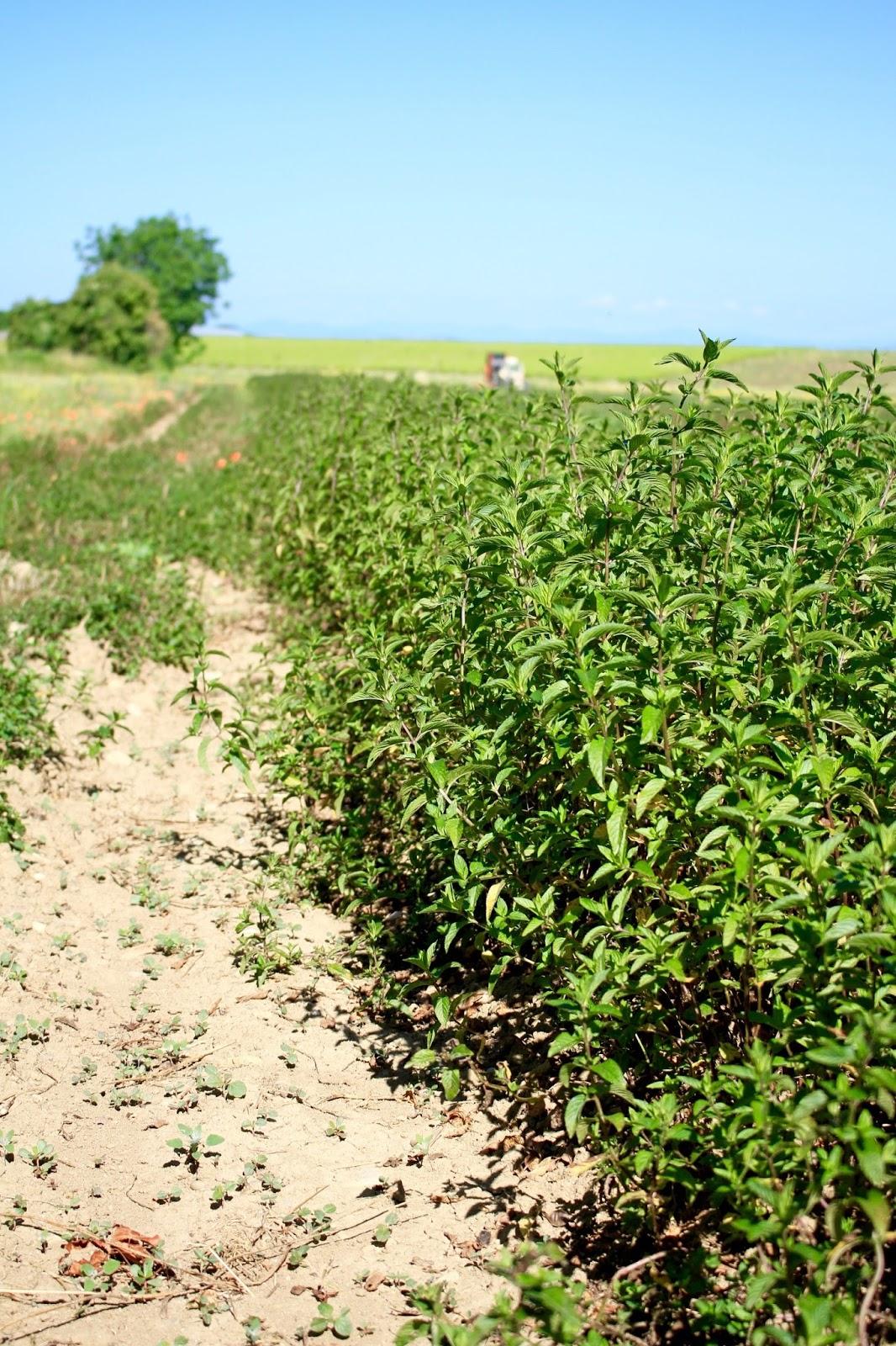champ menthe poivrée