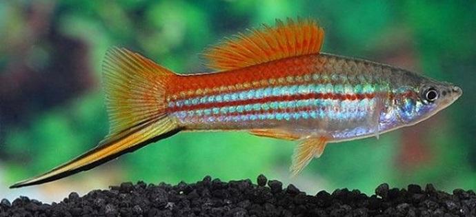 Ikan Swordtail fish - Ikan hias yang kuat hidup tanpa oksigen di aquarium
