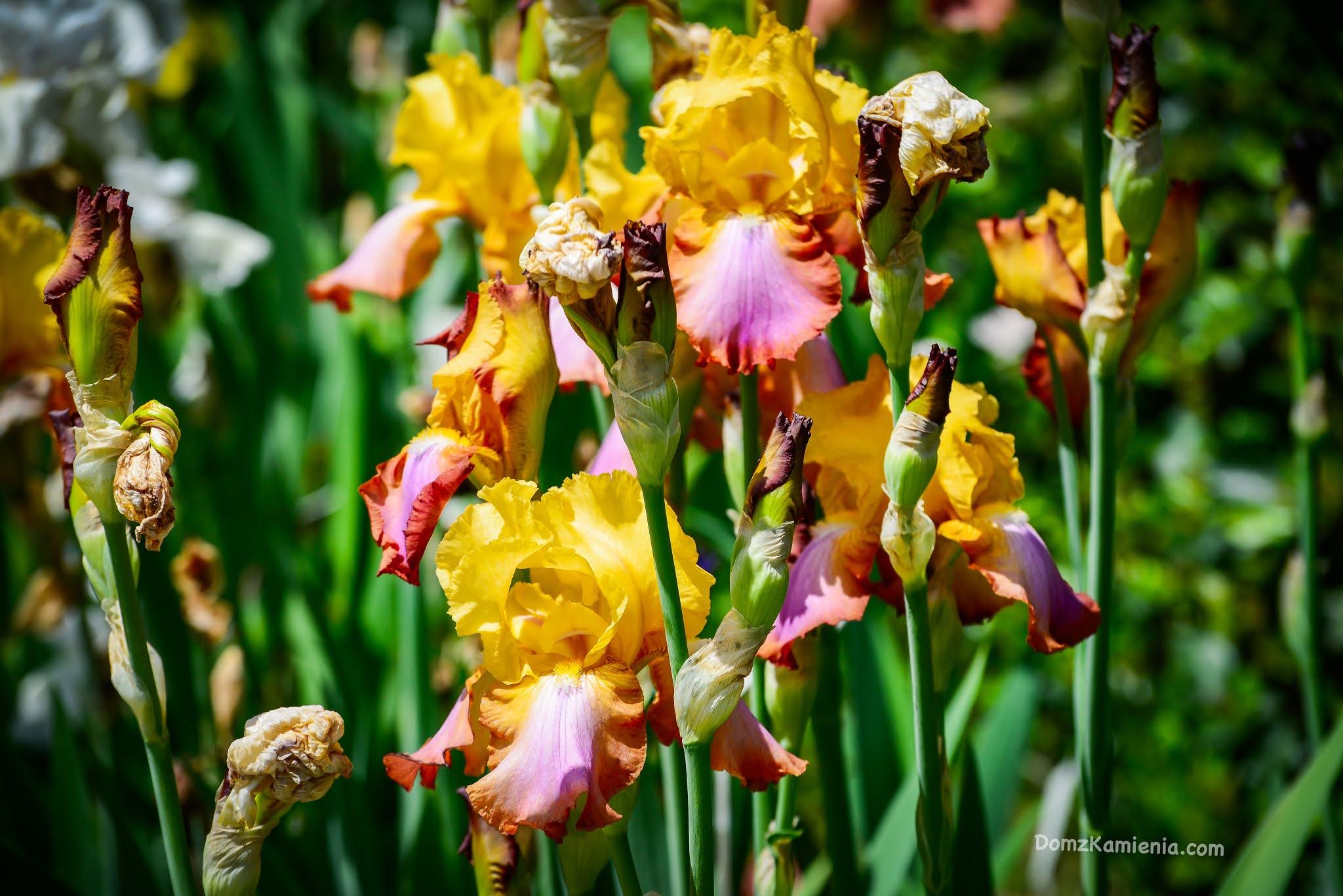 Dom z Kamienia, blog o życiu w Toskanii - giardino dell'iris Florencja