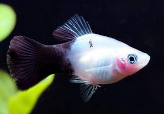 Cara budidaya ikan platy agar dapat Variasi warna yang indah