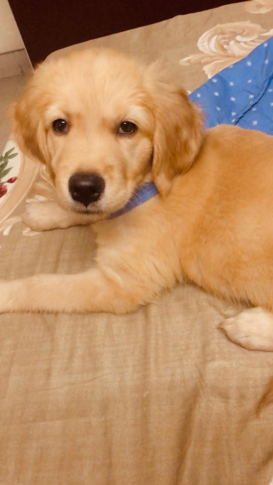 brandy-golden retriever