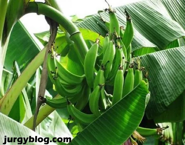 Plantain farming in Nigeria: Step by step guide