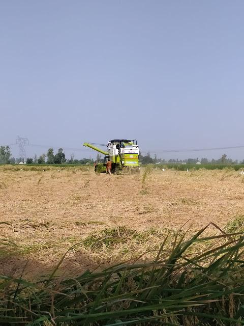 Рис сбор урожая