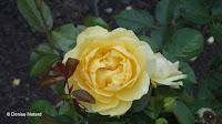 Julia Child floribunda rose, Pardee Rose Garden - East Rock Park, New Haven, CT