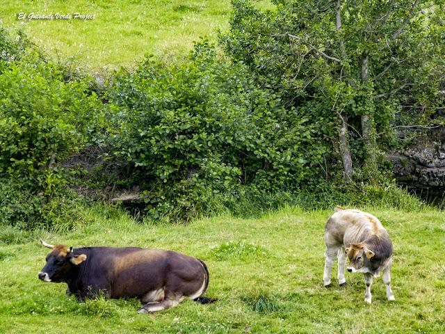 Via Verde de Arrazola, vacas por El Guisante Verde Project