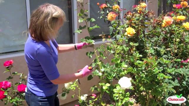 How To Treat Rust on Rose Leaves or Rose Slugs