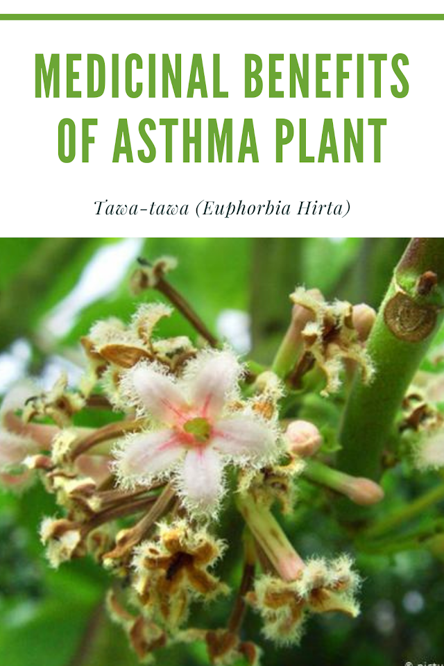 Medicinal Benefits of Asthma Plant