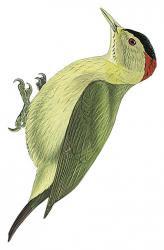Dendropicos johnstoni