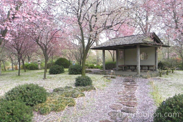 Ciri Ciri Pohon Wisata Bunga Sakura