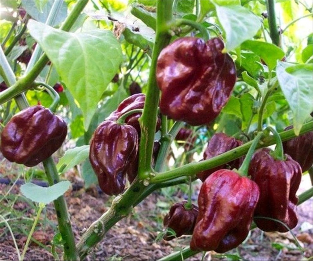 10 benih cabe Congo Black Chocolate Habanero Kalimantan Timur