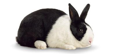 jenis kelinci dutch adalah yang paling populer di indonesia