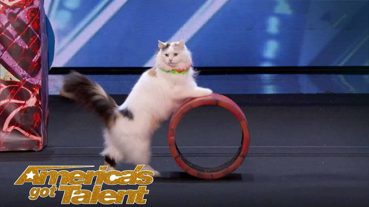 Cats Perform Hilarious Yet Incredible Circus Routine, Leaving The Judge's Mouths Wide Open