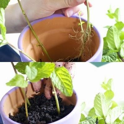 Bước 3 cách trồng cây bạc hà