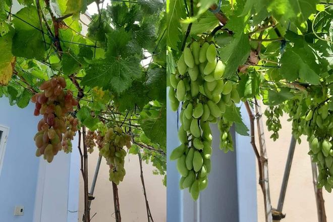 Thất nghiệp vì dịch, 8X làm vườn, trồng dưa, thu hoạch cả tạ ở Hội An