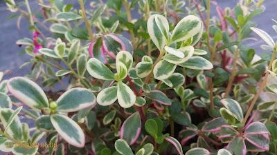 Mười giờ cẩm thạch là loại cây có hoa quanh năm và dễ trồng!