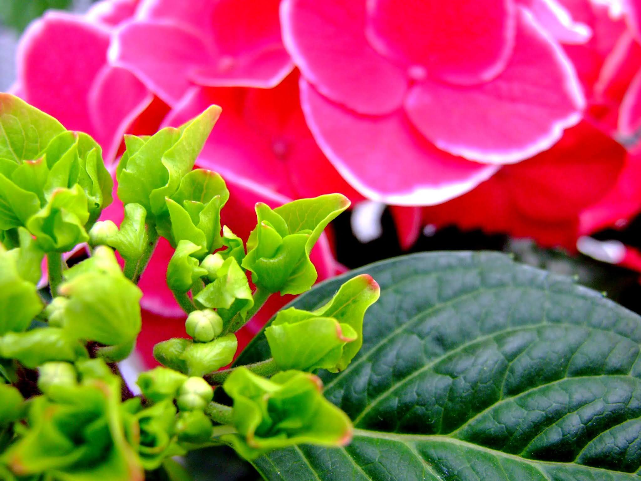 緑のきれいなガクアジサイと、ピンクのアジサイです。梅雨時期のアイキャッチなどに使いやすいと思います。
