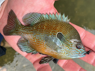 Longear Sunfish, Sunfish on the Fly, Longear Sunfish on the Fly, San Gabriel River, Llano River, Georgetown Texas, Williamson County, Fly Fishing the San Gabriel River, Fly Fishing Georgetown Texas, Sunfish Identification, Texas Sunfish Identification Guide, Sunfish ID, How to determine a sunfish, Pat Kellner, Texas Fly Fishing, Fly Fishing Texas, Texas Freshwater Fly Fishing
