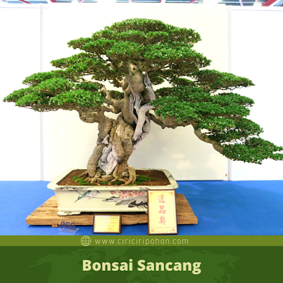 Bonsai Sancang