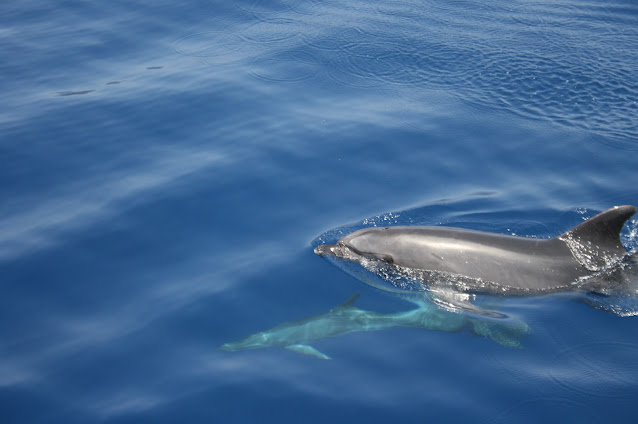 Großer Tümmler - Tursiops truncatus © Canarian Sea 07