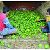 अवकाळी पावसाचा फटका :                    अंबाजोगाईच्या बाजारपेठ मधून गावरान आंबा गायब