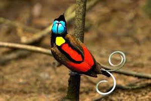 Burung cendrawasih botak