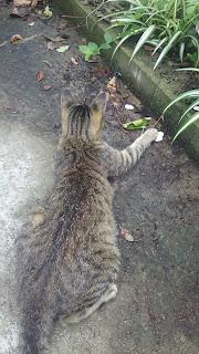 獲物に逃げられたキジトラ猫