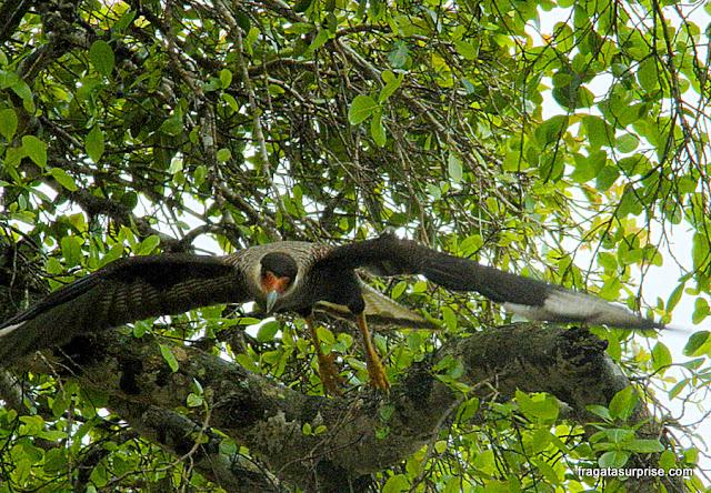 Um carcará em pleno voo no Pantanal do Mato Grosso