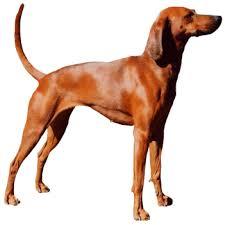 Anjing Ras Redbone Coonhound