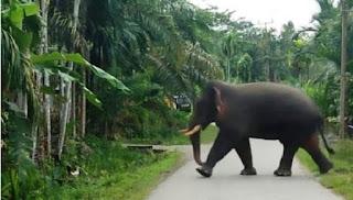 Seekor gajah melintasi badan jalan di kawasan Desa Alue Kuyun, Kecamatan Woyla Timur, Kabupaten Aceh Barat
