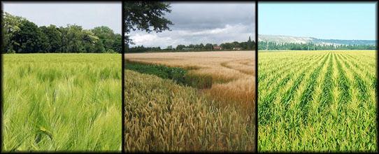 Sección: Campos de Cereales