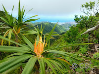 Yellow flower along Ka'au Crater Loop trail, Oahu, HI