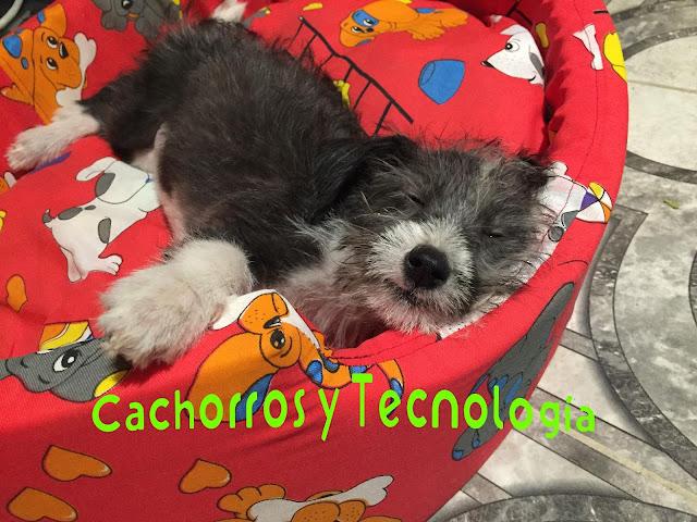Gala olfato perro dog smell cachorros y tecnologia peru chaclacayo shurkonrad