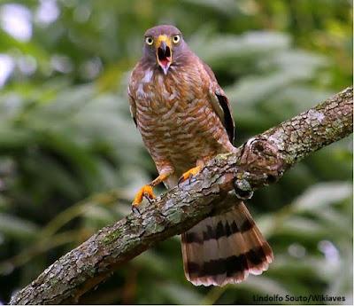 Gavião carijó, aves do brasil, birds, passaros, gavião, ornitologia, observação de aves, birdwatching, turismo, viajar, natureza, wikiaves
