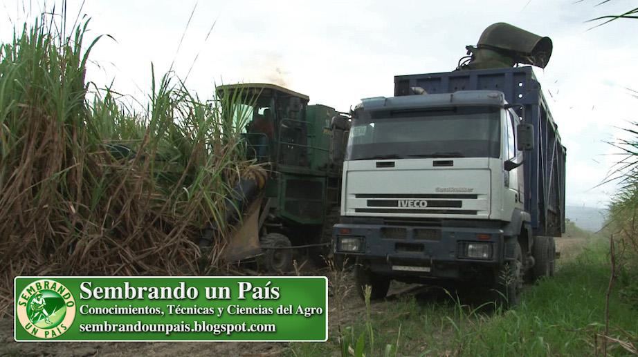 cosecha de caña de azúcar con maquinaria