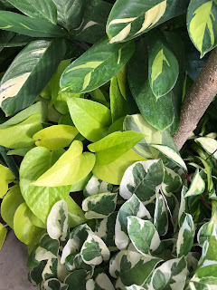 Houseplants with variegated foliage.