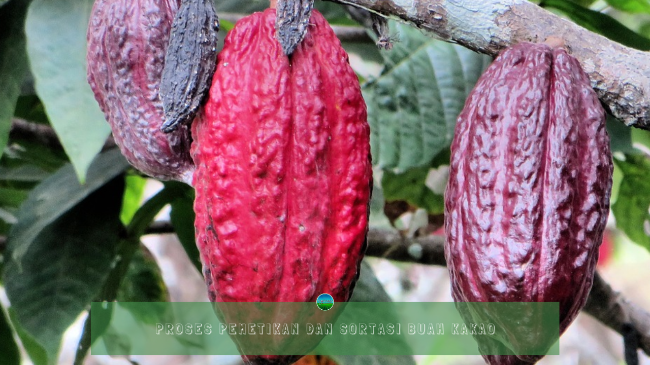 Proses Pemetikan dan Sortasi Buah Kakao