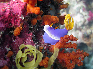 purple Nudibranchs