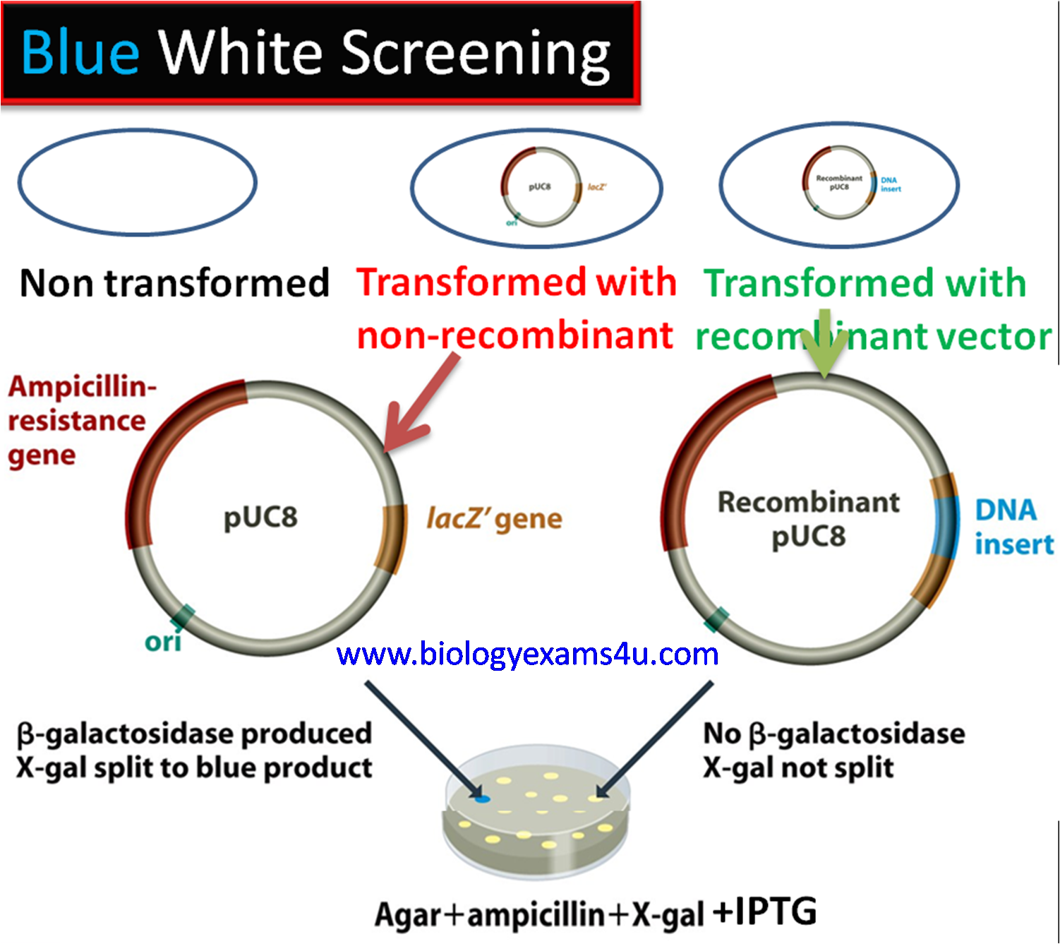 Blue White Screening for Selection of Recombinants using pUC Vector