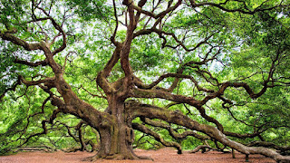 A live oak tree with very tall and spread-out branches - the Angel Oak.