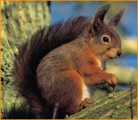 Precision Wildlife Services Red Squirrels In Massachusetts