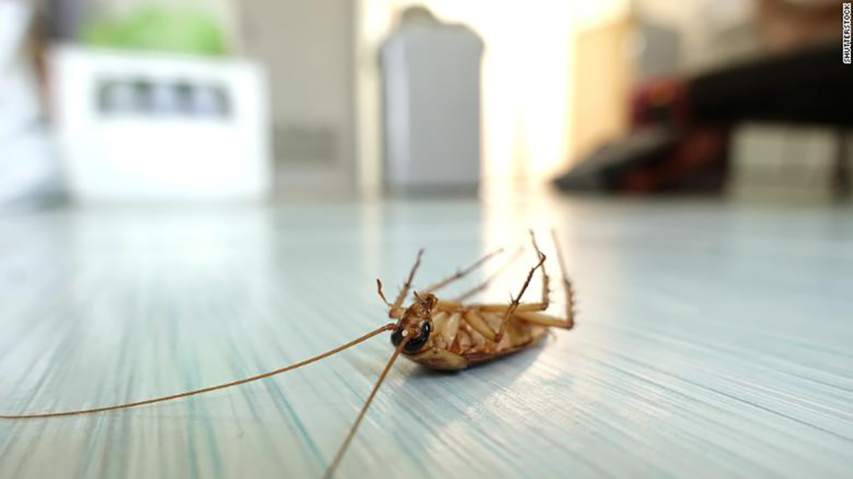 Cockroach, Valentines