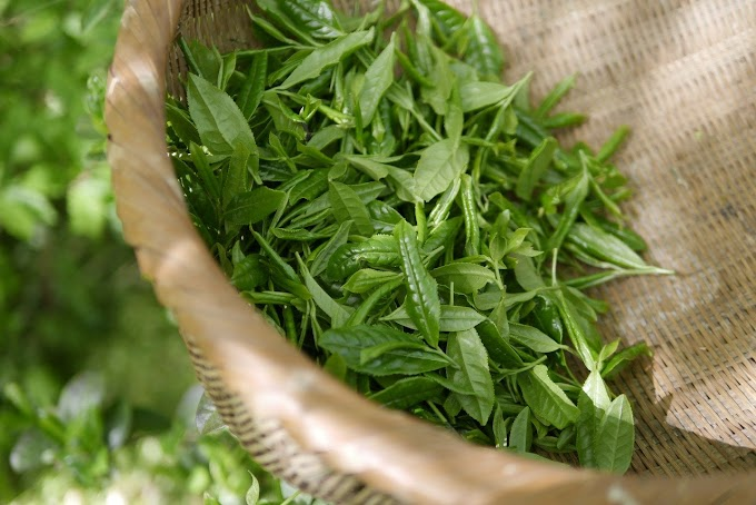 When To Drink Green Tea Morning or Night