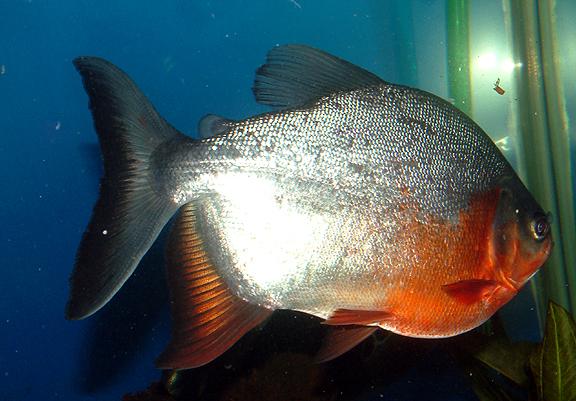 Ikan Bawal Air Tawar (Collossoma macropomum) | Biota Dunia ... Ikan Tambakan