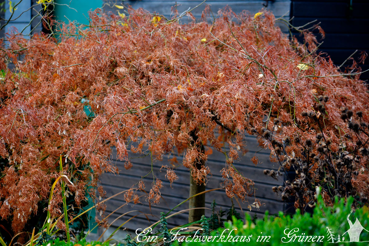 Fächerachorn, Acer Palmatum