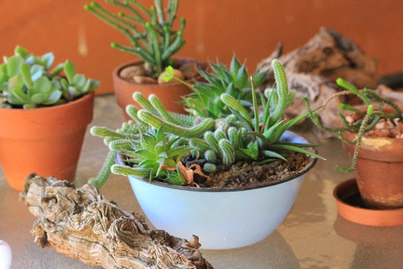 The Succulent And Cactus Lady (that's Me!): Succulent Dish