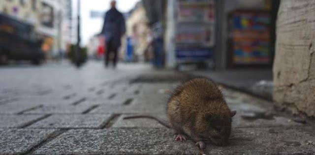 Setelah Virus Corona Muncul Virus Hanta Di China, Tewaskan Seorang Pria